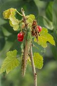 picture of locust  - two locust sits  on a branch red currant and keeps berries - JPG