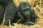 picture of gorilla  - photo of a baby lowland gorilla with mum - JPG