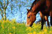 picture of great horse  - Oldenburger horse having a great summer time. ** Note: Soft Focus at 100%, best at smaller sizes - JPG