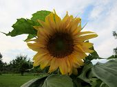 pic of mammoth  - A Mammoth sunflower plant and its leaves with trees - JPG