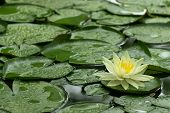 Постер, плакат: Yellow Water Lily After Rain