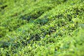 stock photo of darjeeling  - Close up fresh tea leaves in morning sunlight - JPG