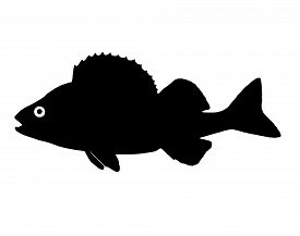 picture of fighter-fish  - The silhouette of fish predators Perch freshwater fish that lives in clear lakes and rivers - JPG