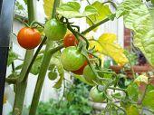 Home Grown Organic Tomatoes