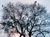 Crows (5)