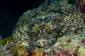 Camouflaged Tentacled Flathead On A Coral Reef (landscape)