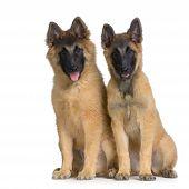 Couple Of Two Puppy Belgian Tervuren