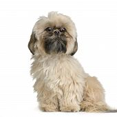 stock photo of dog breed shih-tzu  - Shih Tzu in front of white background and facing the camera - JPG