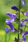 picture of clary  - Springtime flowers - JPG