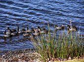 Mud Hens In Lake