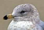 Seagull At The Beach Macro