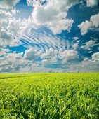 Millet Field. Green Field, Agriculture Landscape, Field Of Millet On A Background Of Blue Sky With C poster