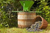 stock photo of crusher  - Freshly harvested wine grapes spilling from a whicker basket with a wine barrel and a vintage grape crusher - JPG