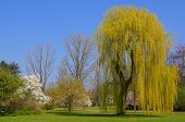 Weeping willow in spring