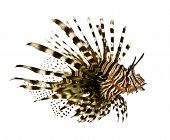 Red Lionfish - Pterois Volitans