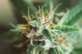 Shot Macro Buds Of Medicinal Marijuana Trichomes Cbd Thc. Concepts Of Legalizing Herbs Weed, Bud Can poster