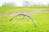 Stork Soars Above Green Field, Scene Of Wildlife poster