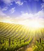Beautiful Lush Grape Vineyard In The Morning Mist and Sun with Room for Your Own Text.