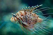 Pterois antennata fish or Lionfish