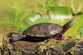 Midland Painted Turtle on a Log