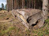 Fresh birch firewood on the ground with grass