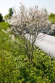 picture of casper  - Tree coated with webs with cocoons of caterpillars - JPG