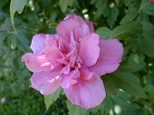 stock photo of rose sharon  - this is a rose of sharon in full bloom - JPG
