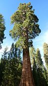 Giant sequoia tree in Sequoia National Park, California