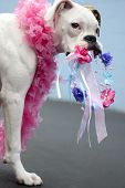 boxer puppy chewing on tiara with pink boa