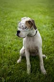 Boxer Puppy wearing tiara