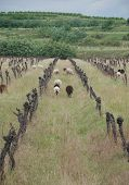 Sheep Amongst Derelict Grape Vines