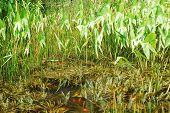 Carp Pond With Reeds