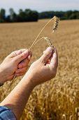 Landwirt in ein Weizenfeld
