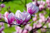 Blossom Of Magnolia Tree In Springtime. Lovely Nature Background With Vivid Colours poster