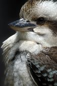 Animal Bird Kookaburra poster