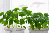 Pepper Growing In Pot. Plants And Gardening poster