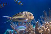 Lined Surgeonfish
