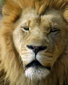 Animal Wild Lion