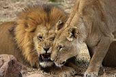 Animal Lion Lioness