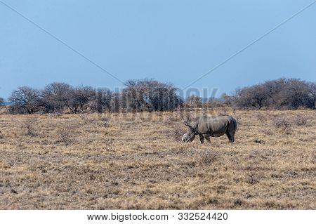 poster of A Solitary Dehorned Black Rhinoceros - Diceros Bicornis Occidentalis- Grazing In Etosha National Par