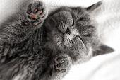 Grey Kitten Sleeps. Scottish Breed Cute Kitten Sleep poster