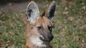 Red Maned Wolf In The Captive Animal poster