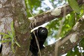 Howler Monkey On Branch