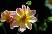 Gently Pink Dahlia Flower And The Bee Collects Pollen. They Have Simple, Non-double Buds With One Ro poster