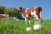 Jug of milk against herd of cows. Emmental region, Switzerland