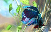 Mond Schwanz Beta Fisch