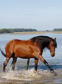 Andalusian Spanish Horse Splashing