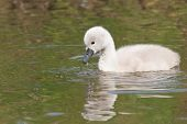 A Cygnet Is Swimming In The Water