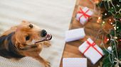 Adorable Dog With Gifts Celebrating Christmas At Home. poster