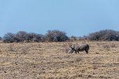 A Solitary Dehorned Black Rhinoceros - Diceros Bicornis Occidentalis- Grazing In Etosha National Par poster
